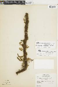 Trichomanes anadromum image