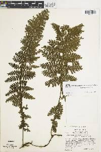 Trichomanes collariatum image
