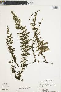 Image of Trichomanes collariatum