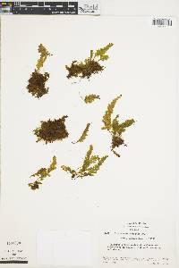 Trichomanes crinitum image