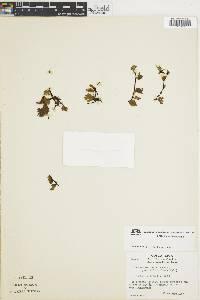 Trichomanes curtii image