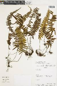 Trichomanes dactylites image
