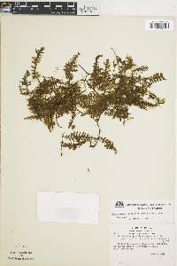 Image of Trichomanes gourlianum