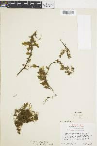 Image of Trichomanes hymenoides