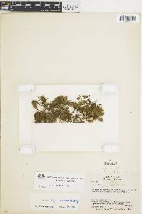 Trichomanes hymenoides image