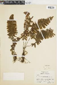Trichomanes ludovicinum image