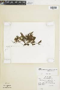 Trichomanes membranaceum image
