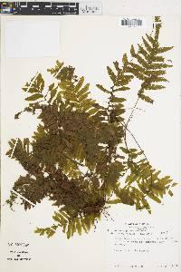 Trichomanes pinnatum image