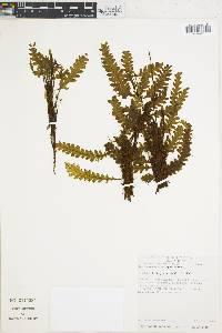 Trichomanes polypodioides image