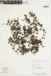Trichomanes punctatum image