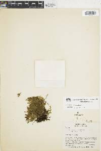 Trichomanes pyxidiferum image