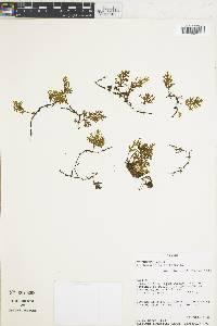 Image of Trichomanes pyxidiferum