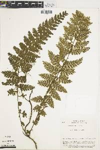 Trichomanes radicans image