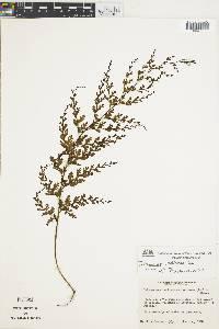 Image of Trichomanes radicans
