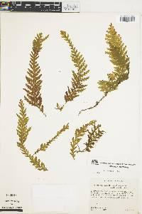 Trichomanes rupestre image