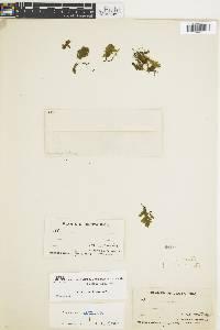 Trichomanes reptans image