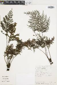 Trichomanes rigidum image