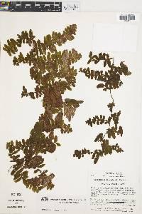 Trichomanes tuerckheimii image