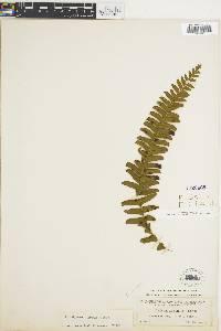 Lindsaea arcuata image