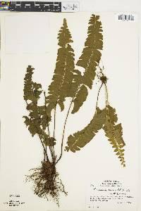 Lindsaea lancea image