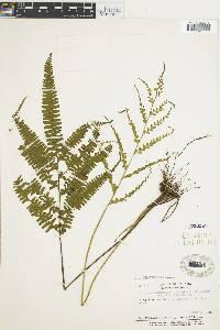 Lindsaea quadrangularis image