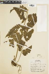 Lonchitis hirsuta image
