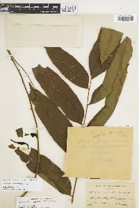 Lomariopsis japurensis image