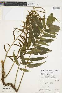 Lomariopsis maxonii image