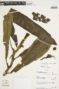 Lomariopsis prieuriana image