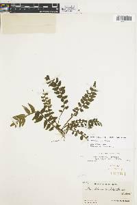 Lomariopsis vestita image