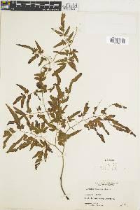 Lygodium venustum image