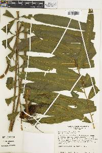 Metaxya rostrata image