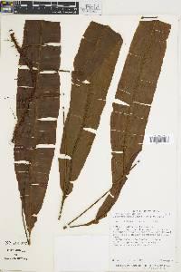 Oleandra articulata image