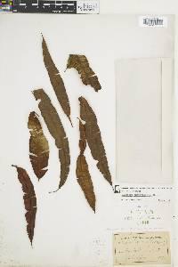 Oleandra costaricensis image