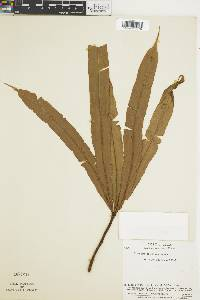 Oleandra decurrens image