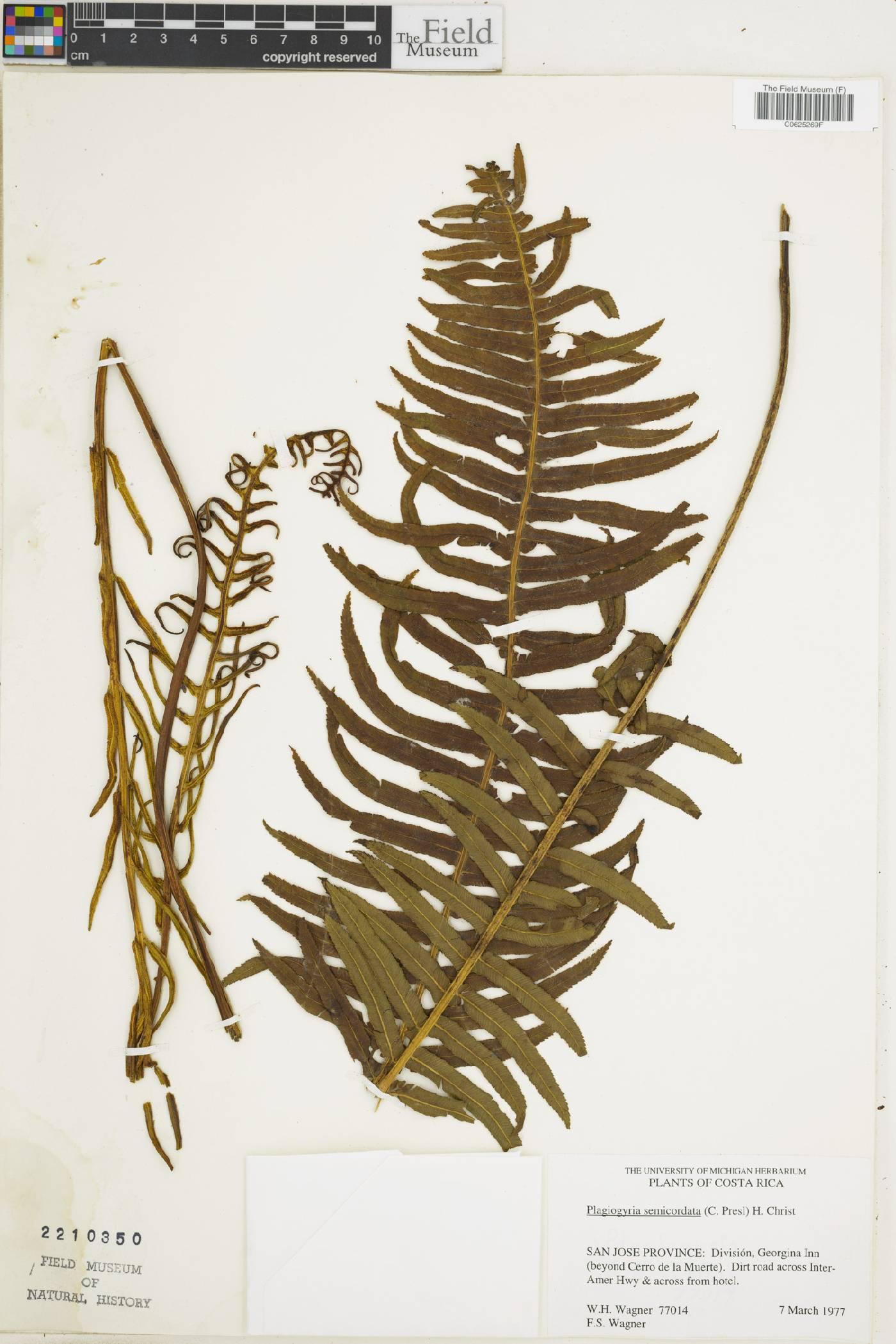 Plagiogyria semicordata image