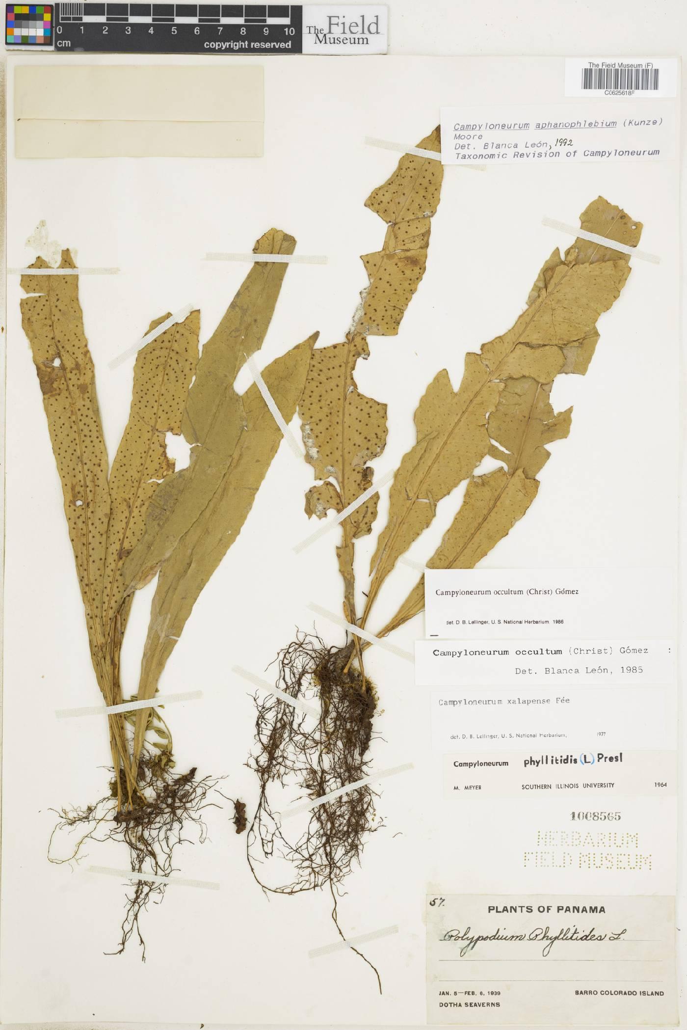 Campyloneurum aphanophlebium image