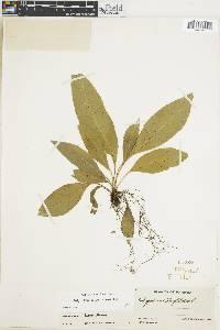 Campyloneurum brevifolium image