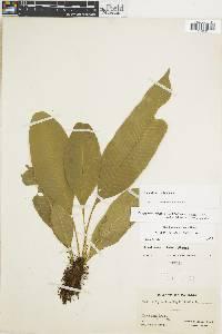 Campyloneurum latum image