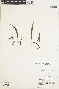 Campyloneurum falcoideum image