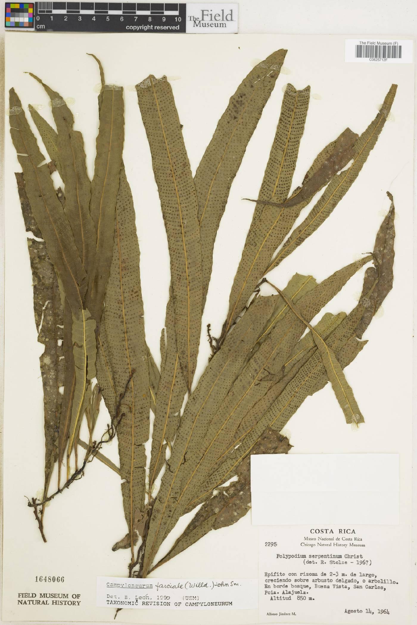 Campyloneurum fasciale image