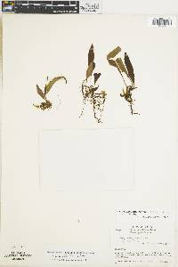 Campyloneurum sphenodes image
