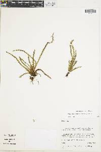 Image of Grammitis caucana