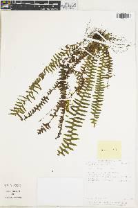 Image of Terpsichore cultrata