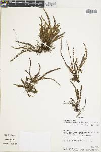 Grammitis daguensis image