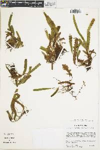 Enterosora ecostata image