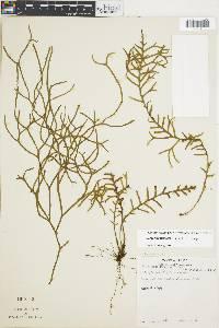 Ceradenia fucoides image