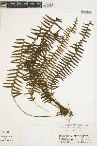Terpsichore lehmanniana image