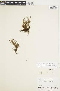 Image of Cochlidium linearifolium