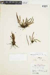 Melpomene moniliformis image